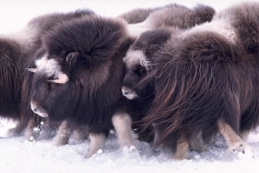 Muskoxed circling around their calves protecting them