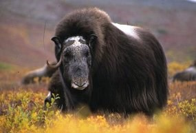 Old female muskox