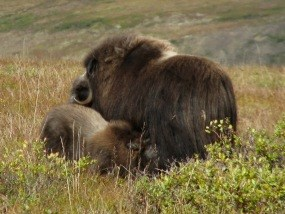 Muskox cow with calf