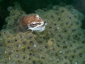 Wood frog swimming among fertalized eggs.