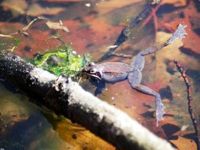 Wood Frogs gather