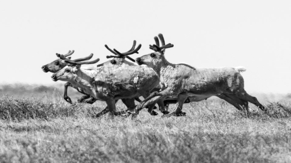 Caribou running on the tundra in summer