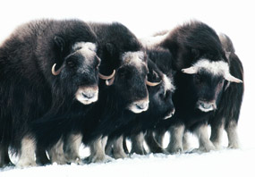 Muskoxen huddle together in the cold and snow