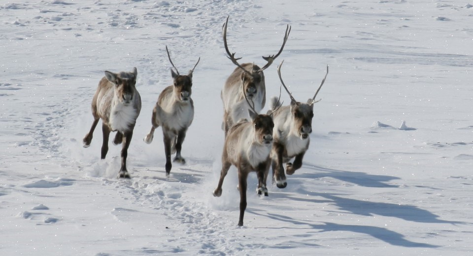 Caribou running on snow in winter