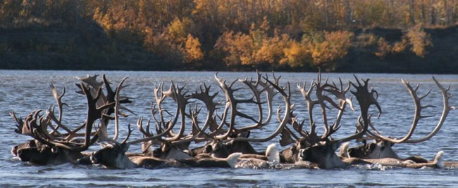 Caribou swimming across a river