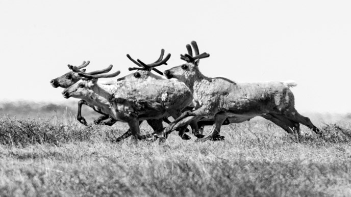 Black and white photo of a small group of caribou running across the tundra