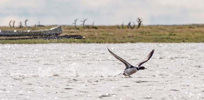 A yellow-billed loon takes off on a lake with caribou racks in the background