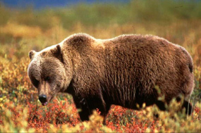 Grizzly bear in fall tundra
