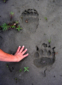 Big grizzly bear tracks in sand