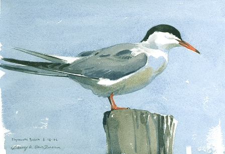 """Common Tern at Plymouth Beach"" by Barry W. Van Dusen"
