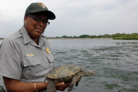Teacher-Ranger Nena Shaheen returns a diamondback terrapin to its home in Jamaica Bay.