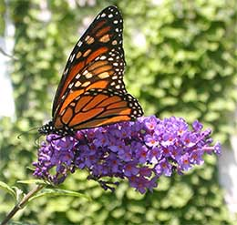 A monarch butterfly perched on a purple flower.