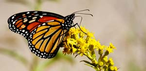 A monarch butterfly at Great Kills Park on Staten Island.