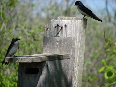 tree swallows on nest box at the Jamaica Bay Wildlife Refuge