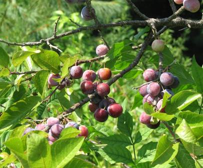 Beach plums ripening in the sun