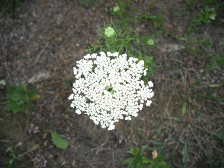 Queen Anne's lace can be found throughout Gateway