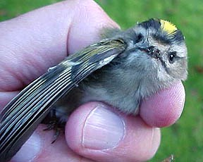 Golden-Crowned Kinglet being banded at Gateway's Sandy Hook in New Jersey.