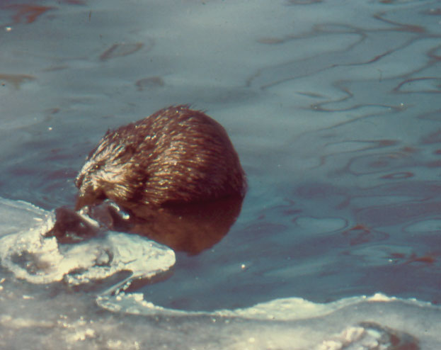 Muskrat feasting on a fish.