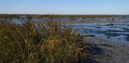 Marsh grasses are fragmented and spaced far apart as the marsh degrades to become primarily mudflat.