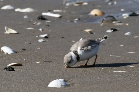 A piping plover digs for food in the sands of Breezy Point. Photo by volunteer Shervin Hess.