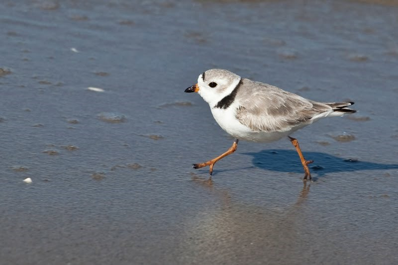 At Gateway, piping plovers live at Sandy Hook and Breezy Point.