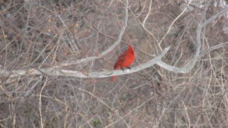 Male Northern cardinal seen during Project FeederWatch.