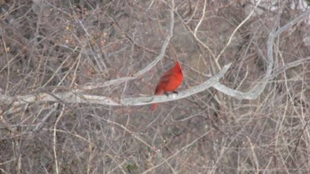 Northern cardinal observed during Project FeederWatch
