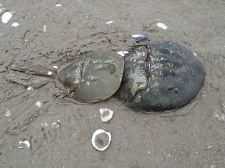 A male horseshoe crab latches onto the larger female for a free ride.
