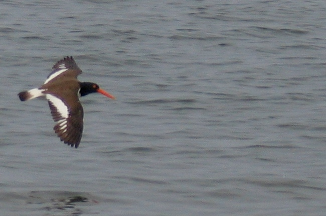 American Oystercatcher in flight.