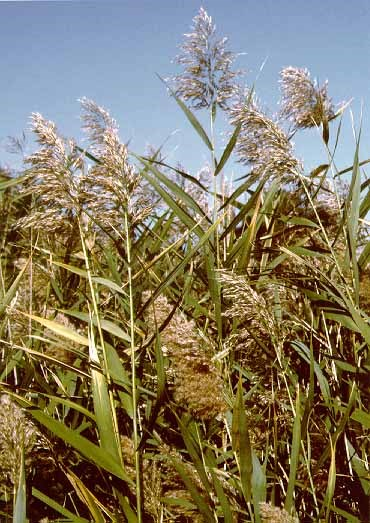 Phragmites commonly grows in waste places and roadsides throughout the park.