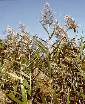 Phragmites grasslands cover much of Gateway's lands.