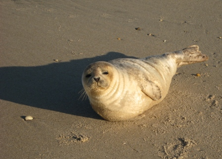 Seals visit Sandy Hook and other places in New York Harbor.