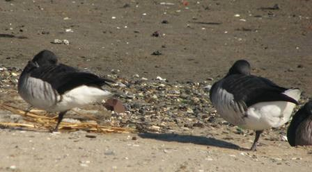 Brant geese resting on the shores of Jamaica Bay