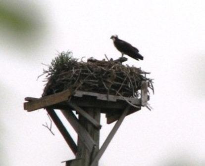 Osprey nest as seen from the West Pond Trail