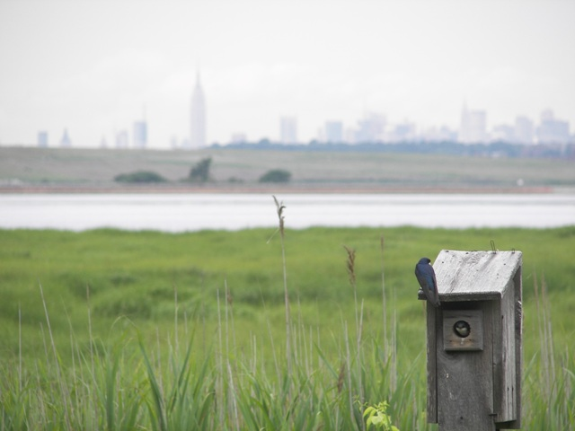 Just as millions of humans live in New York City, millions of creatures depend upon Jamaica Bay for food and shelter.