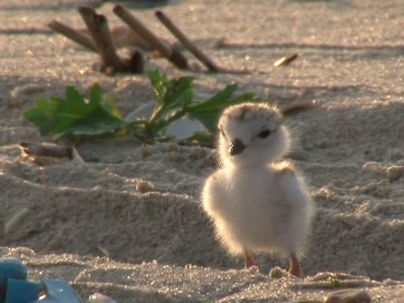 Piping plovers, a threatened bird species, thrive at Sandy Hook and Breezy Point because Gateway protects them. That's why pets are not permitted on beaches where plovers live.