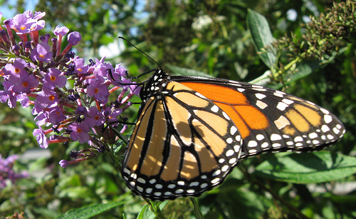Mighty Monarch Butterfly
