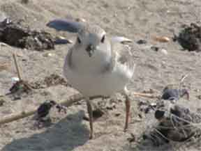 An endangered piping plover on the beach at Sandy Hook, next to discarded monofilament line.