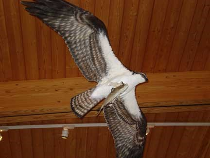 An osprey clutching its catch is part of the new exhibits at Jamaica Bay Wildlife Refuge.