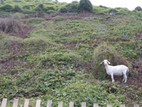 Goats are employed at Fort Wadsworth, doing the job of clearing unwanted invasive vegetation. A green project, that doesn't involve machinery or fuel.