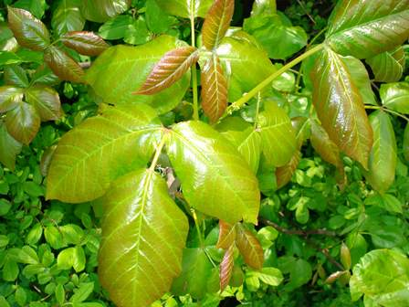 Take a good look! The leaves may be bright or dark green or red or burnt orange, but poison ivy is always in groups of three. All parts of the plant can make you itch: leaves, stems, berries (fall) roots. Avoid them and you'll be fine!