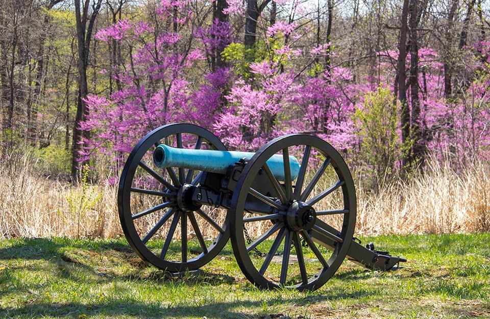A cannon sits in front of a blooming Redbud tree and its pink blossoms.