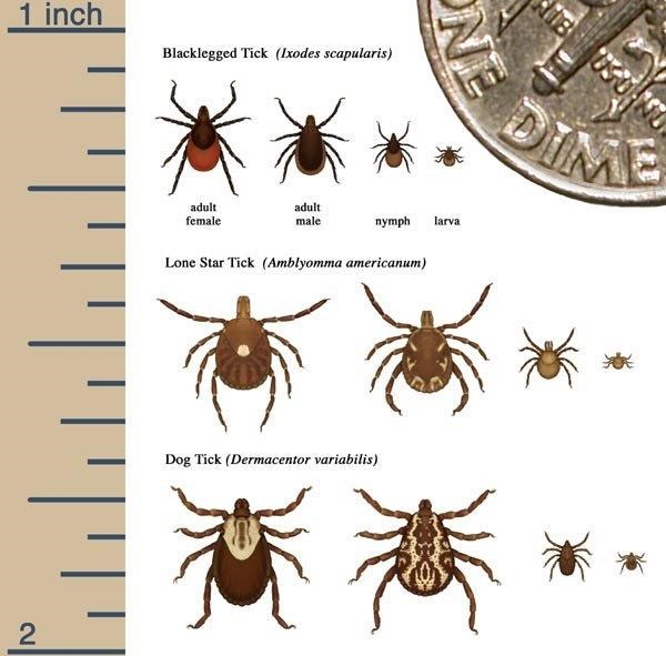 A diagram that shows how small different ticks are compared to the corner of a dime and a ruler.