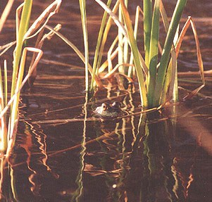 A photo of a bullfrog in the reeds of the Middle Fork River