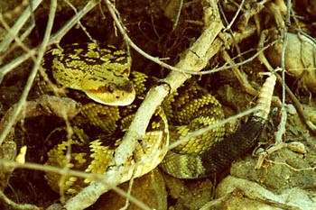 A photo opf a Blacktail rattlesnake in the brush near trail to the Cliff Dwellings
