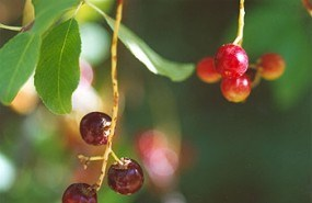 A photo of a bright purple common chockcherry ripening in the sun along a trail.