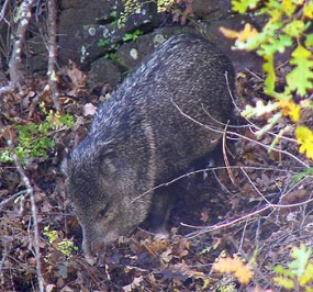 A photo of a javelina rooting with it's nose, near trailhead to the Cliff Dwellings.