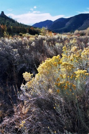 A photo of yellow hued rabbit Brush blooming in a ravene.