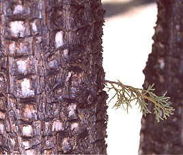 A close-up photo showing the rough detail of the bark of an alligator juniper tree.