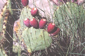 A photo of the ripe bright red fruit of the prickly pear cactus.